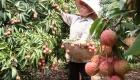 Bắc Giang thiếu lao động thu hoạch vải thiều