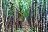 Cần có chiến lược phát triển ngành mía - đường bền vững